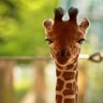 背高のっぽのキリンは、生まれたての赤ちゃんでも身長が180センチある