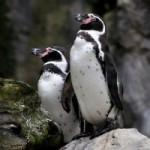 フンボルトペンギン全生息数の約1割が日本の動物園・水族館にいる