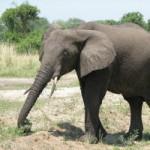 ゾウは立ったままでは口を地面につけられない