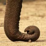 ゾウの鼻には骨がない。すべて筋肉