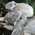 コアラ赤ちゃんの離乳食はお母さんのフン