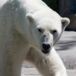 真っ白なホッキョクグマの地肌は黒色