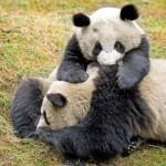 パンダのお母さんは双子が生まれてもそのうちの1頭しか育てない