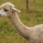 アルパカの毛刈りにはペルーから専門スタッフがやって来る