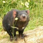 タスマニアデビルは1度に20~30匹を出産するがそのうち育つのは数匹