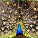 クジャクの飾り羽の重さは1本あたり1グラム