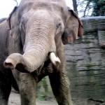 ゾウの嗅覚は犬の約2倍ある