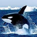 海での食物連鎖の頂点に君臨するシャチには、自然界での天敵がいない