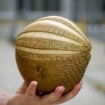 アルマジロのうちボール状に完全に丸まることができるのは、マタコミツオビアルマジロとミツオビアルマジロの2種だけ