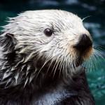 最も毛深い動物と言われるラッコには8億本の毛が生えている