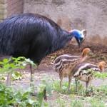 ヒクイドリのメスは卵を産むだけで子育てを一切しない。卵を温め、ヒナを育てるのはオスの役目