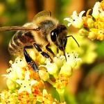 ミツバチが一生かかって集めるハチミツの量はスプーン一杯