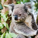 生まれたてのコアラの赤ちゃんは1円玉とほぼ同じ大きさ