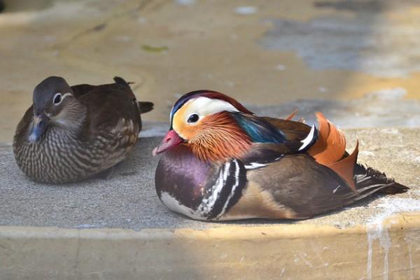 野毛山動物園のオシドリ (Mandarin Duck of Nogeyama Zoo)