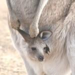 超未熟児で生まれるカンガルーの赤ちゃんは、袋から顔を出した日が誕生日