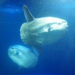 マンボウの学名Mola molaはラテン語で「石うす」の意味である