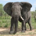 ゾウが1日にする糞の量は75~90キログラム