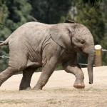 ほ乳類でジャンプすることができないのはゾウだけ