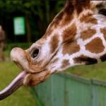 キリンの舌はベロンと長くて40~50センチある
