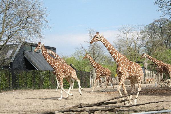 Løbende giraffer i Zoologisk Have / Running giraffes in Copenhagen Zoo