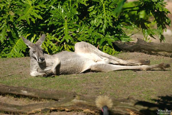 Kangaroo Porn