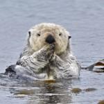 野生のラッコは潮流に流されないように海草にくるまって眠る