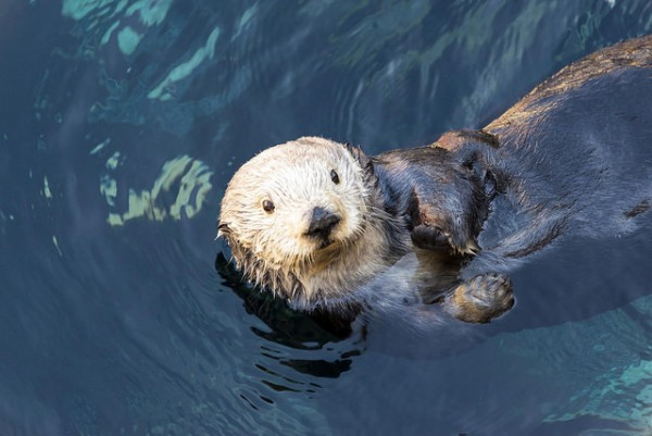 Sea Otters: Monterey Bay Aquarium
