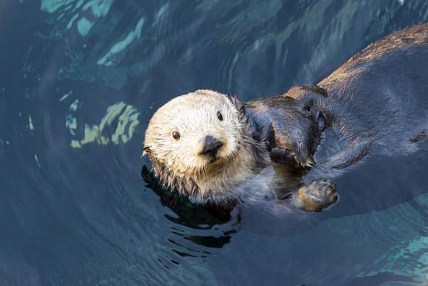 Sea Otters: Monterey Bay Aquarium
