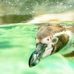 ペンギンの舌と上あごには衝撃的なトゲトゲが生えている