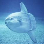 超デリケートな魚のマンボウがついに絶滅危惧種に指定される