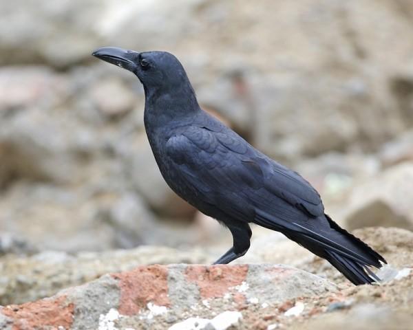 Carrion crow (Corvus corone orientalis)
