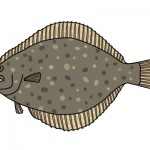 生まれたてのヒラメの目の位置は他の魚と同じ。成長につれて片側に目が移動して来る