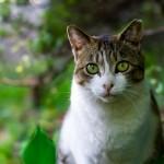 ネコの学名はフェリス・シルヴェストリス・カトゥス