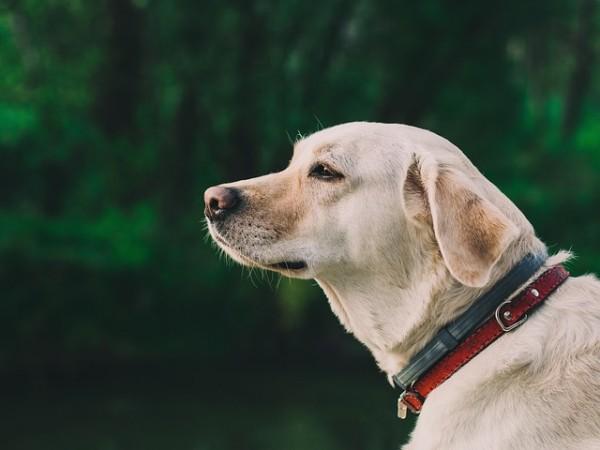 イヌの学名はカニス・ルプス・ファミリアーリス