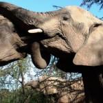 ゾウの歯の本数は上下左右1本ずつの計4本だけ