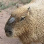 オスのカピバラの鼻上の黒い膨らみにはモリージョという名前がつけられている