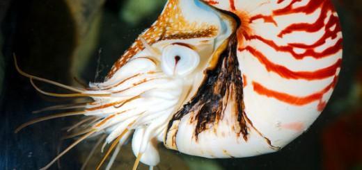 Chambered Nautilus (Nautilus pompilius)_16   Josh More   Flickr