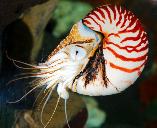 Chambered Nautilus (Nautilus pompilius)_16 | Josh More | Flickr