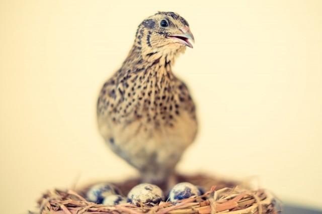 殻が白っぽいウズラの卵は産卵デビューしたての若鳥が生んだもの