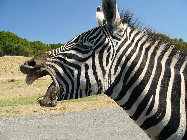 シマウマは気性が荒く学習能力がないので競馬には出られない
