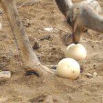ダチョウの卵の大きさはニワトリの卵の30倍