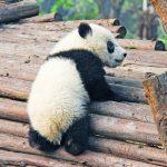 上野動物園の赤ちゃんパンダ誕生で経済効果は267億円