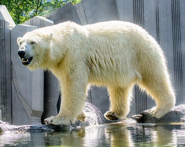 陸上でもっとも大きい肉食動物はホッキョクグマ