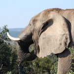 地上最大の動物はアフリカゾウ