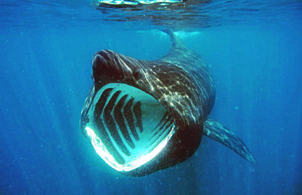 ウバザメの英名「バスキング・シャーク」は日なたぼっこをするサメの意