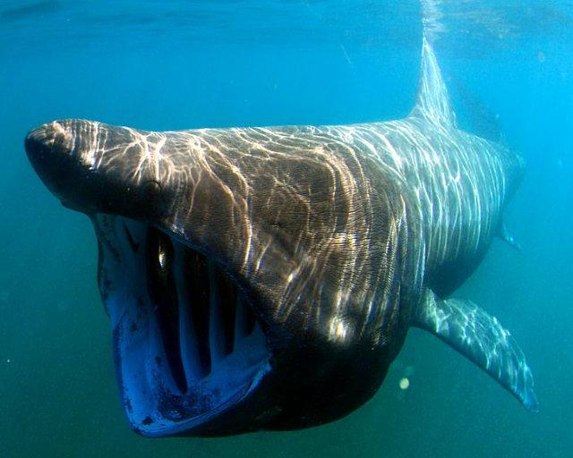 ウバザメの名前の由来はエラが老婆のシワに似ていたことから