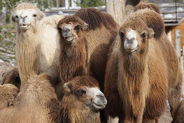 6月22日は世界ラクダの日