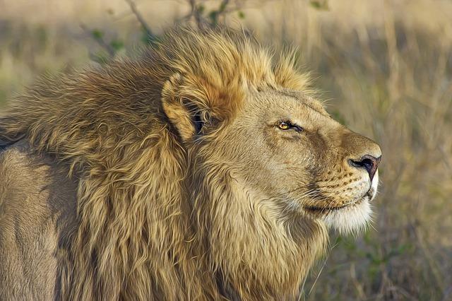 8月10日は世界ライオンの日