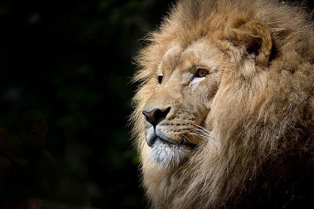 どの子がどの子?ライオンは一頭ごとに違うヒゲの毛穴の位置で見分けることができる