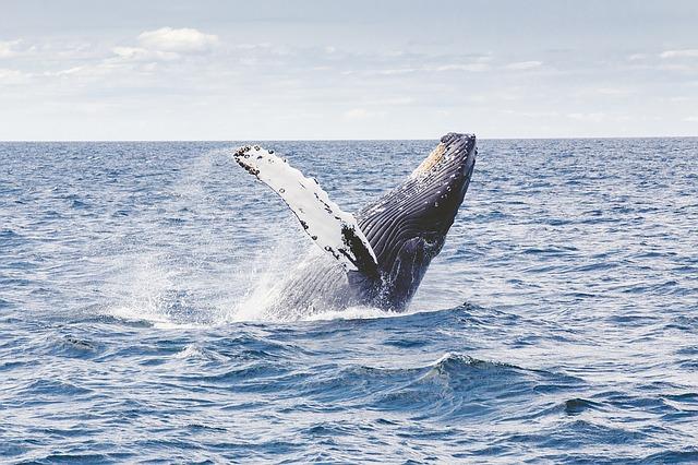 ザトウクジラは愛の歌をうたう